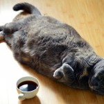 Debelost pri mačkah