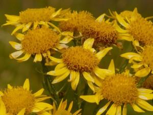 homeopatska arnica