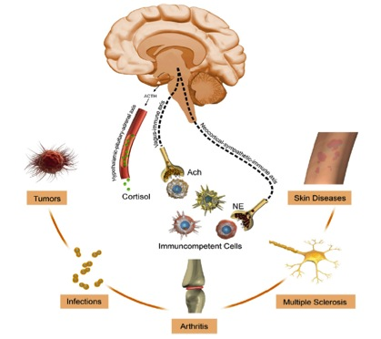 Stres v možganih sproži izločanje določenih faktorjev, ki prispevajo k nastanku bolezni. Vir: http://complementaryoncology.com/wp-content/uploads/2012/06/psychoneuroimmu.jpg