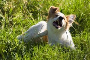 alergije pri psih