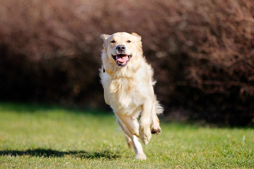 pes šepa, pes ima težave s hrbtom in sklepi, kaj pomaga?