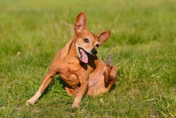 Bolhe na psu – kako se jih učinkovito znebiti?