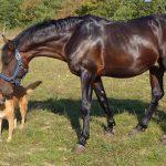 Konji in psi – najboljši prijatelji ali sovražniki?