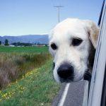 Potovalna slabost pri psih in rešitve zanjo