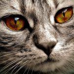 Kronična odpoved ledvic pri mačkah: hrana za preventivo in zdravljenje