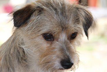 Kronično vnetje črevesja pri psih