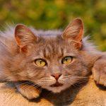 Čipiranje mačk: da ali ne?