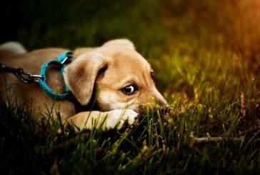 5 možnih razlogov, zakaj pes je travo