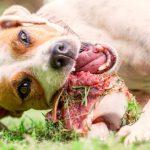 Kosti v pasji hrani: da ali ne?