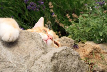 Mačja meta in njen vpliv na mačko