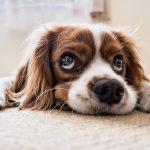 Ločitvena tesnoba pri psih- kako jo prepoznati?