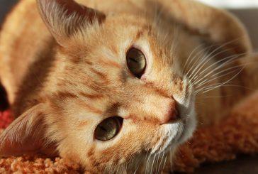 Veste, zakaj mačka prede? Razlog ni vedno zadovoljstvo.