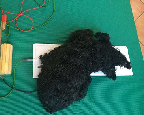 Kot pravi Mojca, je psička Gloria neverjetna: sama se uleže neposredno na elektrodo in tako nasloni glavo, da dobi super dozo terapije.