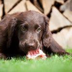 Surova hrana za pasje mladiče: kaj DA in kaj NE?