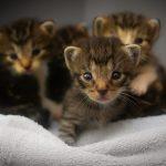 Načrtujete mačje mladiče? Tukaj je nekaj praktičnih nasvetov!