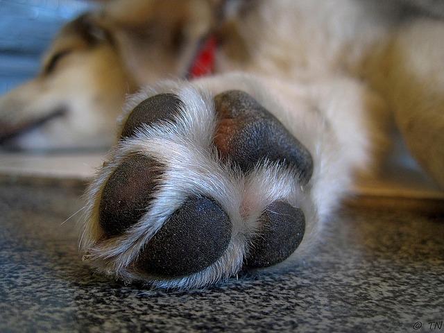 razpokane pasje blazinice