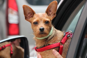 6 nasvetov za varno poletno vožnjo s psom