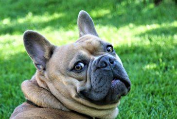 Vnetje ušes pri psu: zakaj do tega pride in kako lahko pomagate?
