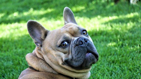 vnetje ušes pri psu: pomaga redno čiščenje in puljenje dlak